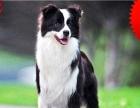 边境牧羊犬 聪明机警 健康活泼 温顺聪明 疫苗齐全