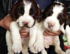家养英国史宾格幼犬一窝特价出售