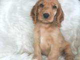 银川哪里卖可卡犬宠物狗价格便宜狗狗健康签协议包纯种