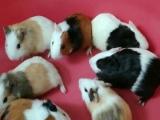 自家养兔子荷兰猪仓鼠小鸡刺猬松鼠
