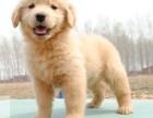 出售金毛巡回猎犬极品金毛品相好 骨架大承诺健康