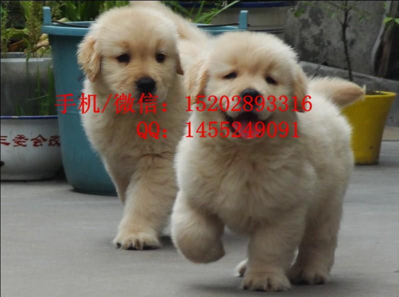 重庆哪里有金毛犬卖 重庆的金毛好多钱一只 纯种金毛多少钱