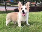 小短腿威尔士柯基幼犬出售 疫苗证书齐全 自家繁殖