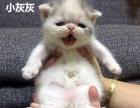 加菲猫妹妹虎斑三花妹妹浅三花妹妹异国短毛猫