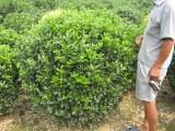天津市蓟县大型苗木花卉批发市场