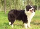 纯种精品边境牧羊犬 品相一流 包健康 可签协议 上门选购