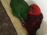 出售折衷鸚鵡 葵花鸚鵡 亞馬遜鸚鵡 灰鸚鵡 凱克 金剛鸚鵡