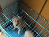 日本纯种秋田犬,3个月大,一公一母