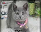 宠物小猫咪英短蓝猫小猫家猫活体纯种宠物猫