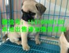 南昌狗市有巴哥犬幼仔卖吗有的话纯种的要多少钱