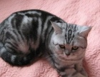 美国卷耳猫 虎斑 蓝猫 渐层价格呆萌 免费送选