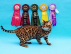 家有豹猫蓝猫,颜值超高,会用猫砂,绝对健康