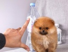 哪里出售博美犬 博美犬哪里有卖 博美犬价格