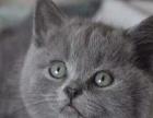 可爱正八字 英国短毛蓝白妹妹 母猫 出售,找新家