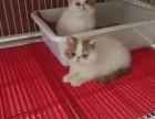 深圳买猫去哪里深圳买加菲猫深圳哪里有正规猫舍