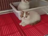 深圳哪里有卖加菲猫幼崽哪里卖的加菲猫更健康
