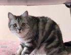 出售自家繁殖的虎斑猫