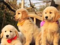 太原哪里有宠物狗出售 太原哪里有金毛幼犬出售 金毛多少钱