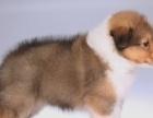 犬舍繁殖精品喜乐蒂、品种纯正、保证健康、保证血统