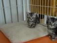 正规美国短毛猫舍 终身质保 可签协议 保障纯度和健康