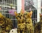 家养的豹猫生的一窝小豹猫咪咪,包纯种健康,
