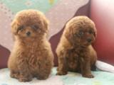 珠海本地 出售泰迪幼犬 本地狗现货挑选 健康保障