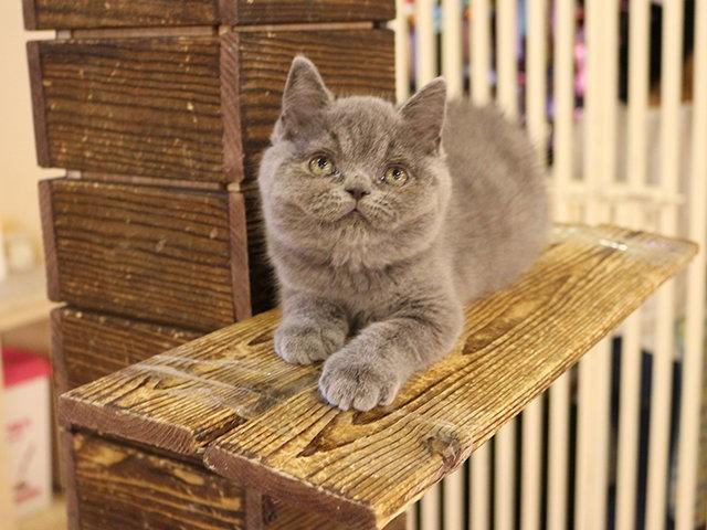 自家繁殖 美短幼猫低价出售 咨询有惊喜