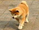 中国专业繁殖双血统秋田犬犬舍 可以上门挑选