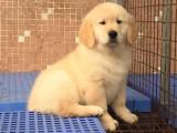 武汉哪里有金毛犬出售 武汉纯种金毛多少钱 武汉哪里有金毛犬舍