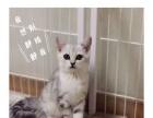 出售:自家美短猫宝贝