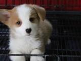 贺周末金品柯基幼犬 宠物柯基多多 可送货上门