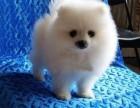 上海哈多利球体博美幼犬待售 纯种健康赛级 疫苗做齐签协