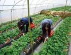 北京市昌平区蔬果皇后草莓采摘园
