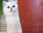 家庭繁殖纯种英短猫蓝猫可上门或视频看猫包健康