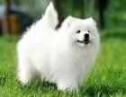 烟台哪有萨摩耶犬卖 烟台萨摩耶犬价格 烟台萨摩耶犬多少钱