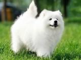 上海狗场直销一纯种萨摩犬一包养活一签合同
