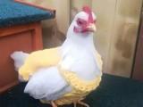 雞西本養殖基地 長期出售各類品相好的觀賞雞 品類齊全
