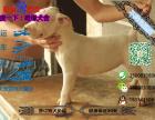哪里有专门养杜高犬的 纯种的多少钱一只