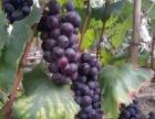 摘葡萄,吃桃子,梨子,烧烤垂钓就来张家湾农家乐