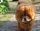 眯眯眼 厚嘴唇 品相憨厚 忠厚老实纯种松狮犬