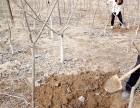 产地核农直发正品涞水文玩核桃树苗麻核桃成品树