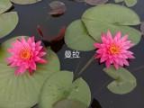 出售荷花苗,睡莲苗和各种水生植物