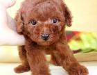 成都哪里有纯种的贵宾卖 成都成华区哪里可以买到纯种的贵宾犬