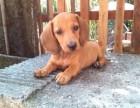 纯种腊肠犬 品相好 签协议包纯包健康3个月