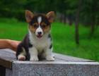 自家大狗生的一窝柯基犬可以来家里看大狗品相