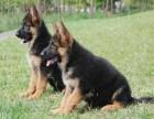 株洲哪有德国牧羊犬卖 株洲德国牧羊犬价格 德国牧羊犬多少钱