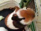自家养的荷兰鼠,兔子出售