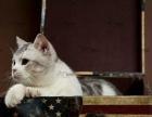 山西太原萌猫生活馆--换血、优质种公转让或借配