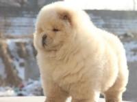纯血统的松狮幼犬出售,好可爱哦