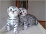 广州折耳猫怎么卖的广州最好的折耳猫要多少钱广州哪里有猫舍